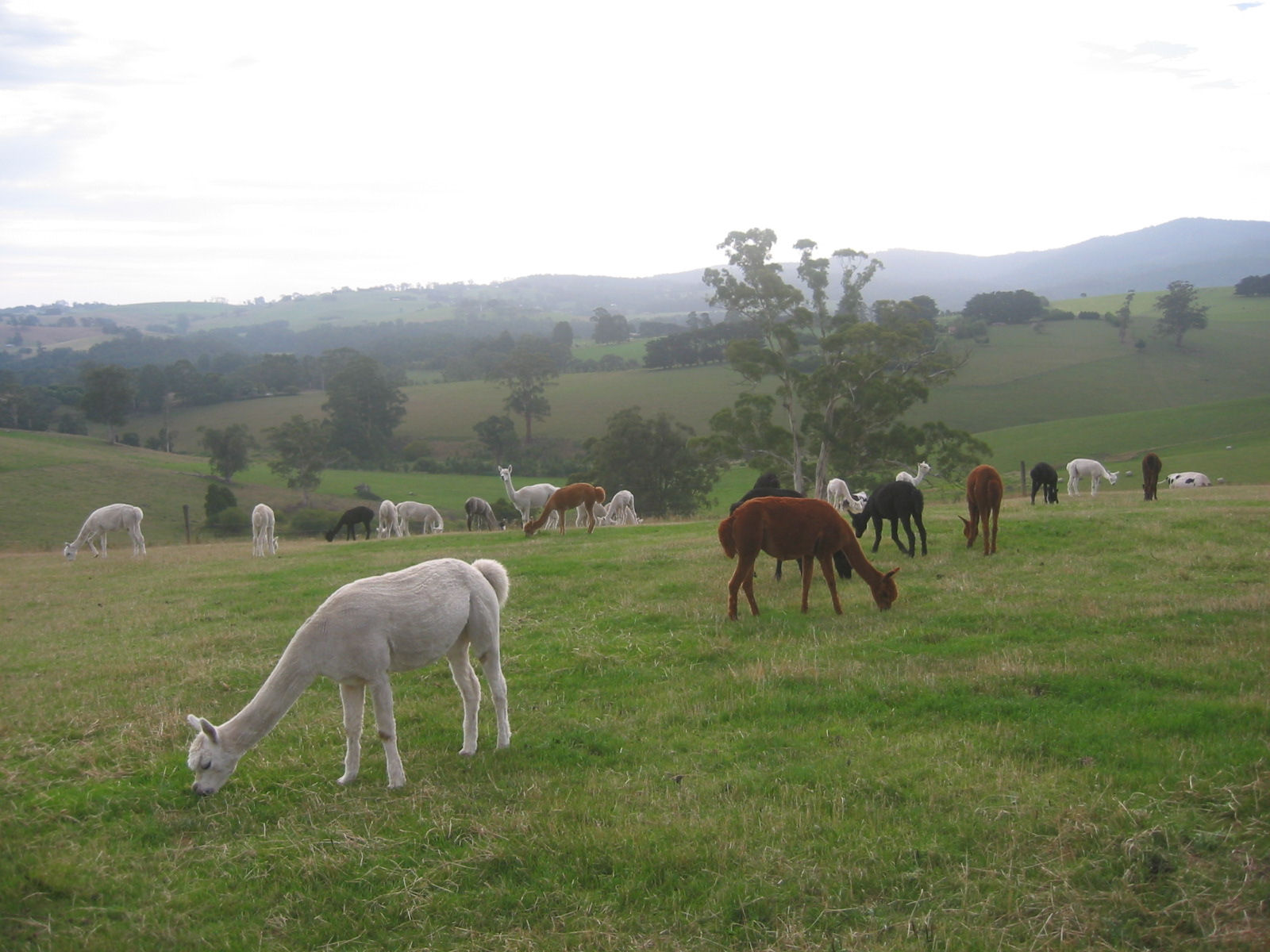 view with alpacas
